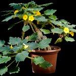 کاشت گیاه آنکارینا روزلیانا