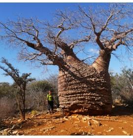 بذر درخت آدانسونیا فونی