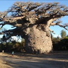 بذر درخت بائوباب زا (BAOBAB ZA)