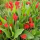 بذر گل اختر قرمز