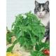 بذر نعنا گربهای