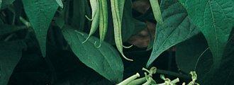 بذر لوبیا سبز رابرت