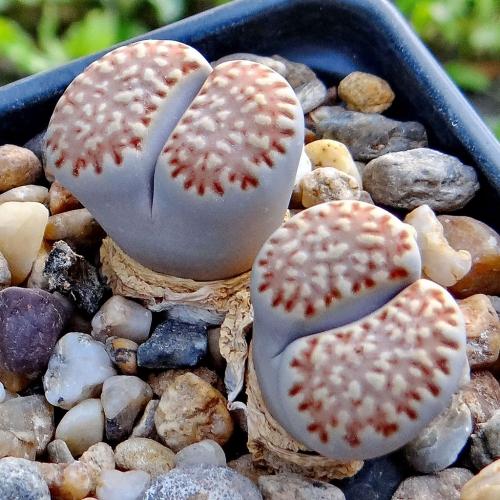 بذر گیاه سنگی فولری