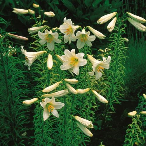 بذر گل لیلیوم سولفورئوم