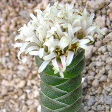 بذر کراسولا کلومناریس