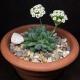 بذر کراسولا ausensis ssp. titanopsis