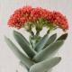 بذر کراسولا فالکاتا