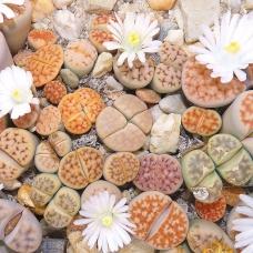 بذر گیاه سنگی مخلوط