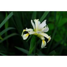 بذر گل زنبق هالوفیلا
