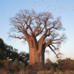 کاشت درخت بائوباب زا (Baobab Za)
