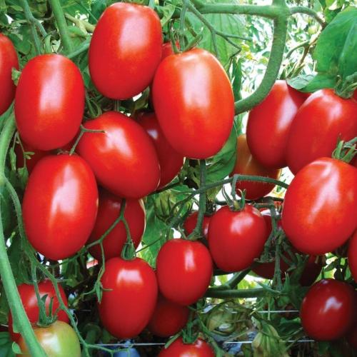 بذر گوجه فرنگی ماریانا F1