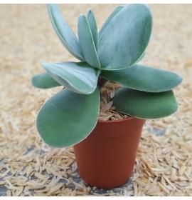 بذر کراسولا اوبوالاتا