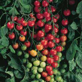 بذر گوجه فرنگی سوپرسوییت F1