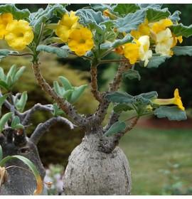 بذر گیاه آنکارینا روزلیانا