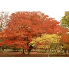 بذر درخت آزاد