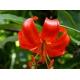 بذر گل لیلیوم پامیلوم