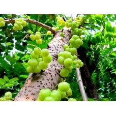 بذر درخت انگور فرنگی ستاره ای یا جابوتیکا سبز