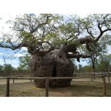 بذر درخت آدانسونیا گئورگی