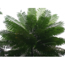 بذر درخت آتش برزیلی