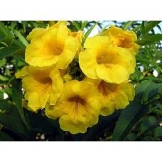 بذر گل شیپور طلایی تکوما