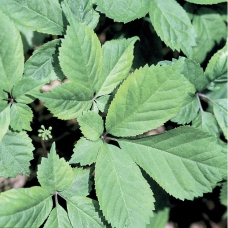 بذر جینسنگ آمریکایی