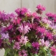 بذر گل برگاموت پانوراما میکس