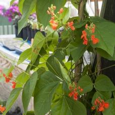 بذر لوبیا رونده اسکارلت