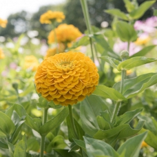 بذر گل آهار بناریس زرد طلایی بزرگ