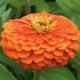 بذر گل آهار بناریس نارنجی بزرگ