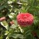 بذر گل آهار بناریس مرجانی بزرگ
