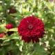 بذر گل آهار بناریس قرمز پر رنگ بزرگ