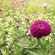 بذر گل آهار بناریس بنفش بزرگ