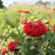 بذر گل آهار بناریس اسکارلت بزرگ