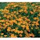 بذر گل جعفری گردنبند طلایی
