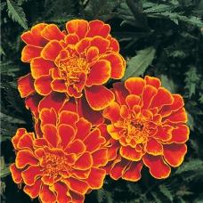 بذر گل جعفری ملکه سوفیا