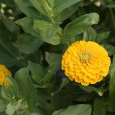 بذر گل آهار کوکب زرد طلایی بزرگ