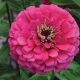بذر گل آهار کوکب سرخ بزرگ