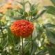 بذر گل آهار کوکب نارنجی بزرگ