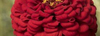 بذر گل آهار کوکب قرمز بزرگ