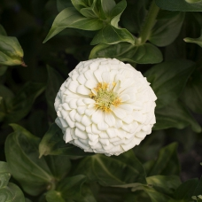 بذر گل آهار کوکب سفید بزرگ