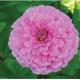 بذر گل آهار کوکب صورتی روشن بزرگ