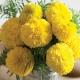 بذر گل جعفری زرد بزرگ