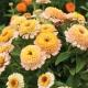 بذر گل آهار زیندرلا هلویی