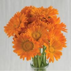 بذر گل همیشه بهار آلفا ارگانیک