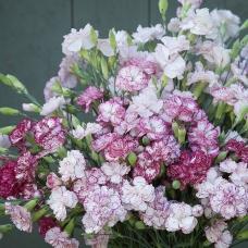 بذر گل میخک چابائود بنیگنا