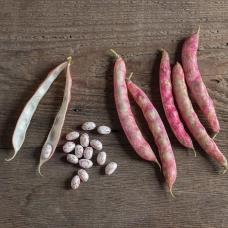 بذر لوبیا فلامبو