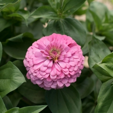 بذر گل آهار بناریس صورتی روشن بزرگ