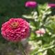 بذر گل آهار بناریس کارمین رز بزرگ