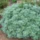 بذر گیاه دارویی افسنتین