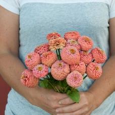 بذر گل آهار اوکلاهما سالمون